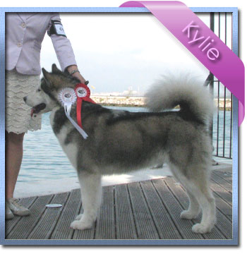 CH Kinuk's I Want It All, Kylie, Alaskan Malamute