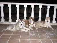 Kylie with her good siberian friends: Arwen and Maya