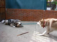 Netooka playing with Dreamy, a gorgeous husky we fostered