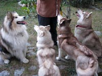 Roy and the siberian family of Mysthicwolves
