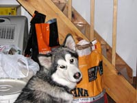 Malamutes are so greedy: Kylie begging for more kibble