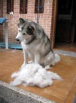 Netooka showing how much fur a malamute can pull out when shedding